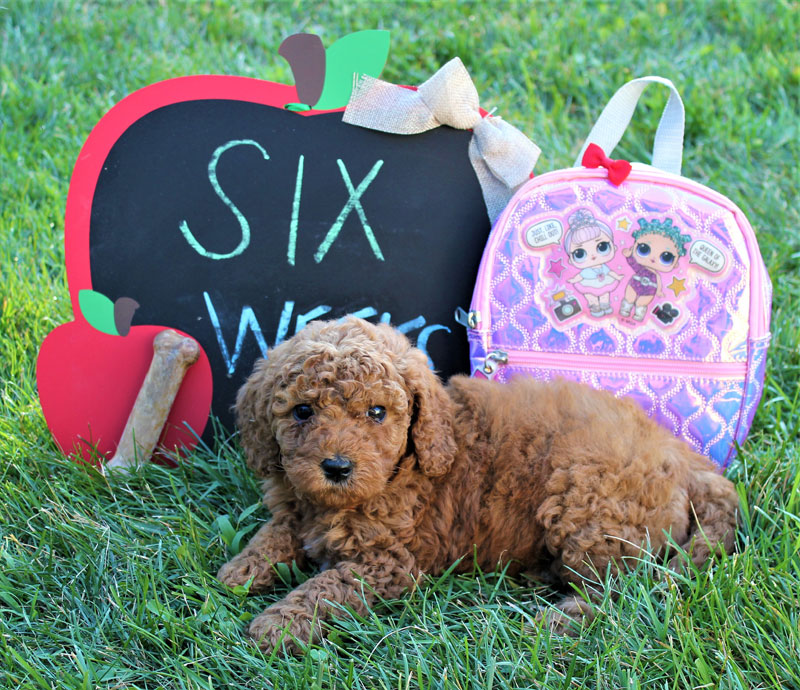 Red Goldendoodle Puppies for Sale in Michigan by Brooke View