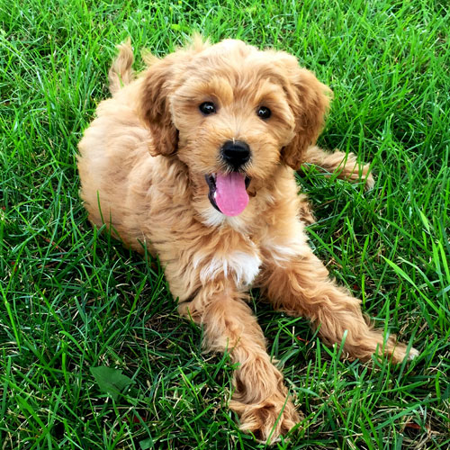 Red Goldendoodle Puppies from Brooke