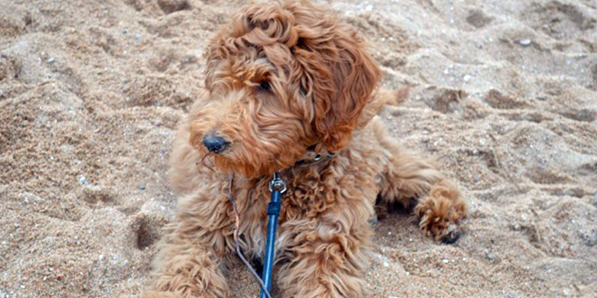 Red Mini Goldendoodle Puppy in Michigan