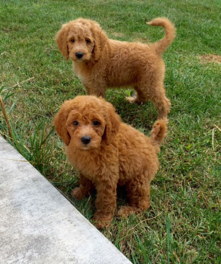 How to care for your goldendoodle puppy