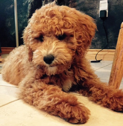 Red Goldendoodle Puppy Schedule