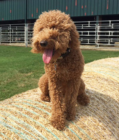 red goldendoodle puppy from Brooke View Doodles in Michigan