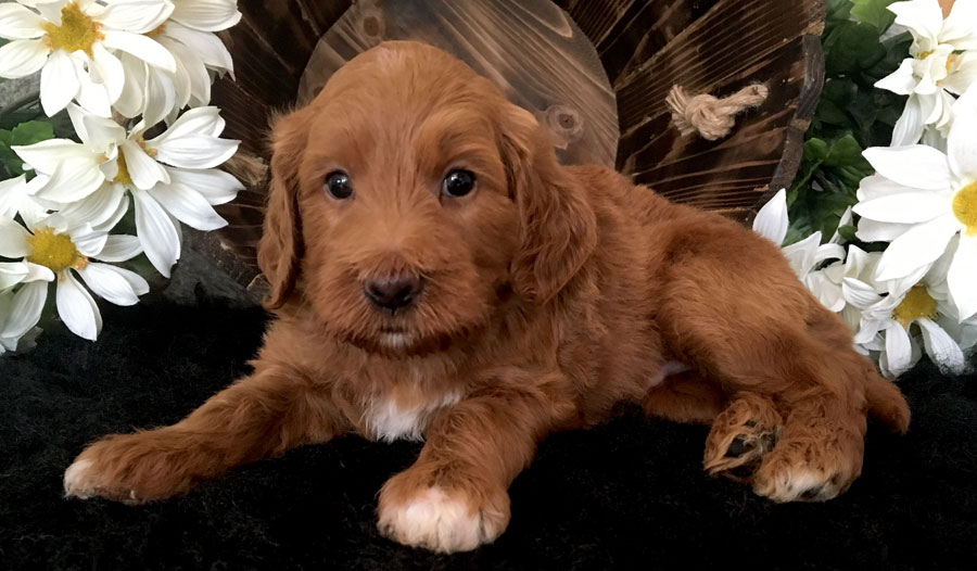 Red Goldendoodle Puppy in Michigan