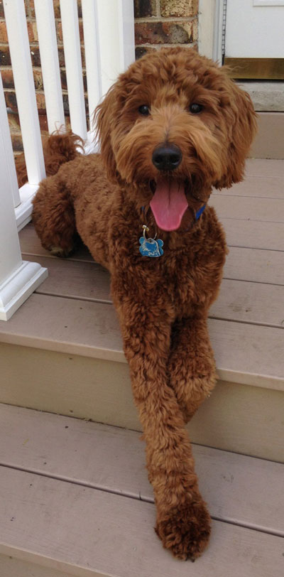 Red Goldendoodle Puppies in Michigan