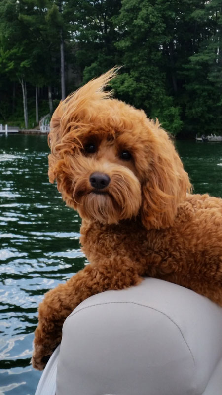 Red Goldendoodle Puppies In Michigan By Brooke View Doodles